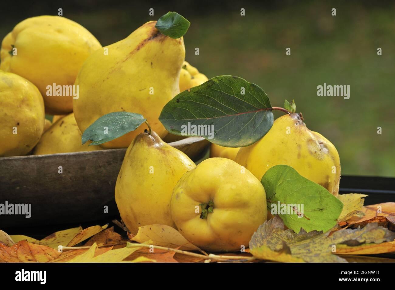 reife Quitten   ripe quinces Stock Photo