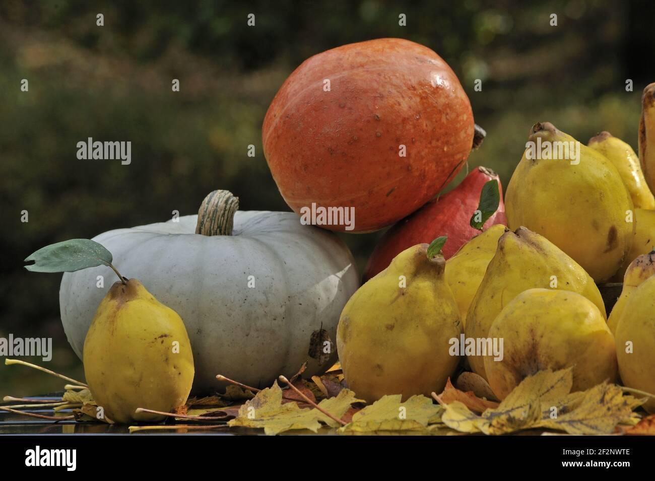 reife Quitten und Kürbisse | ripe quinces and pumpkins Stock Photo
