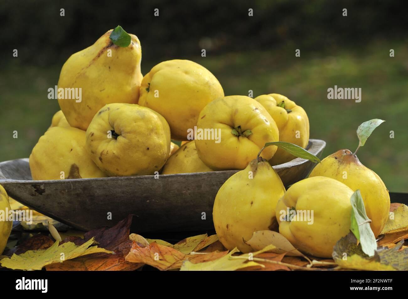reife Quitten | ripe quinces Stock Photo