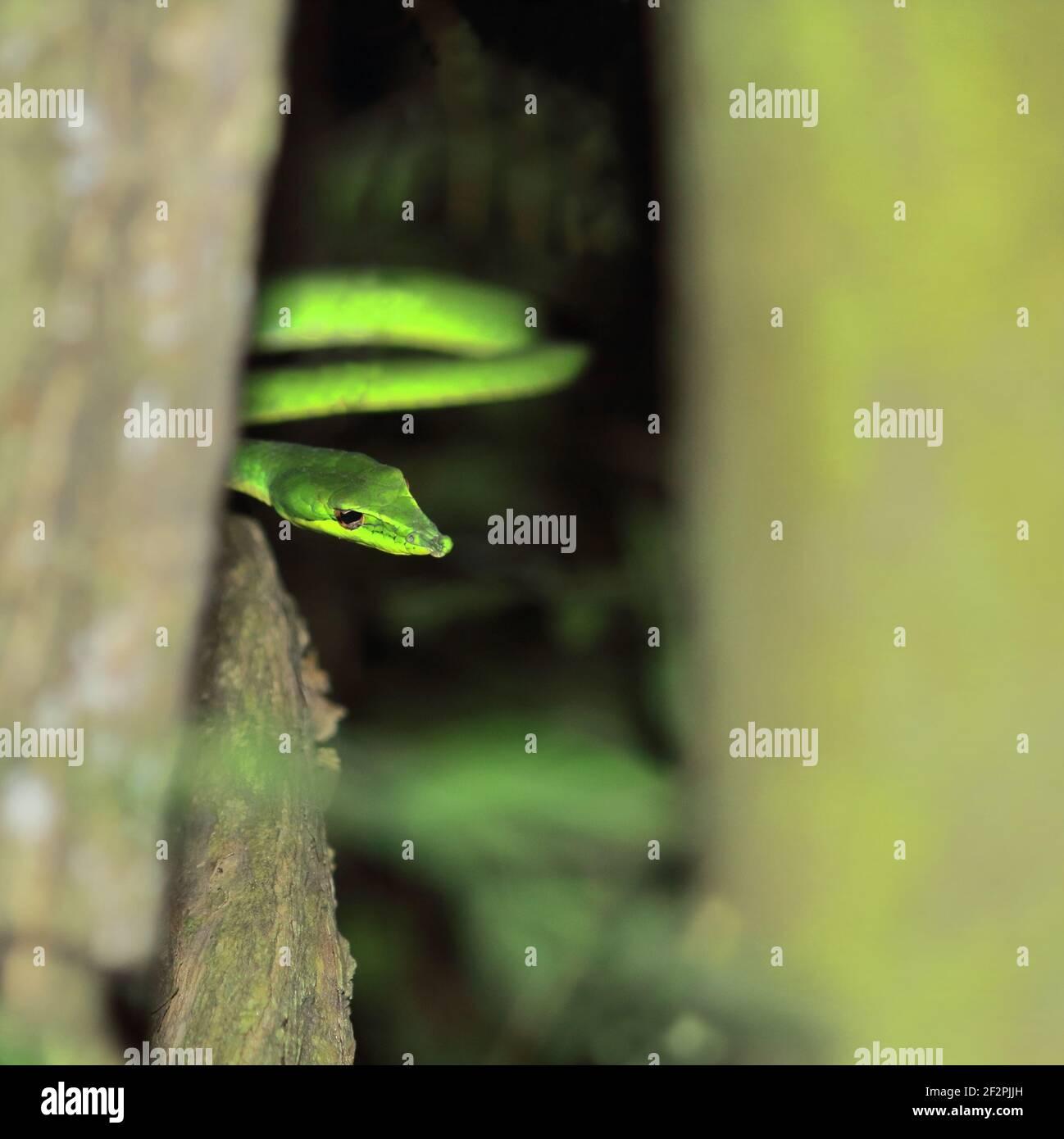 close up view of beautiful but venomous long nosed whip snake or sri lankan green vine snake (ahaetulla nasuta), tropical rainforest in india Stock Photo