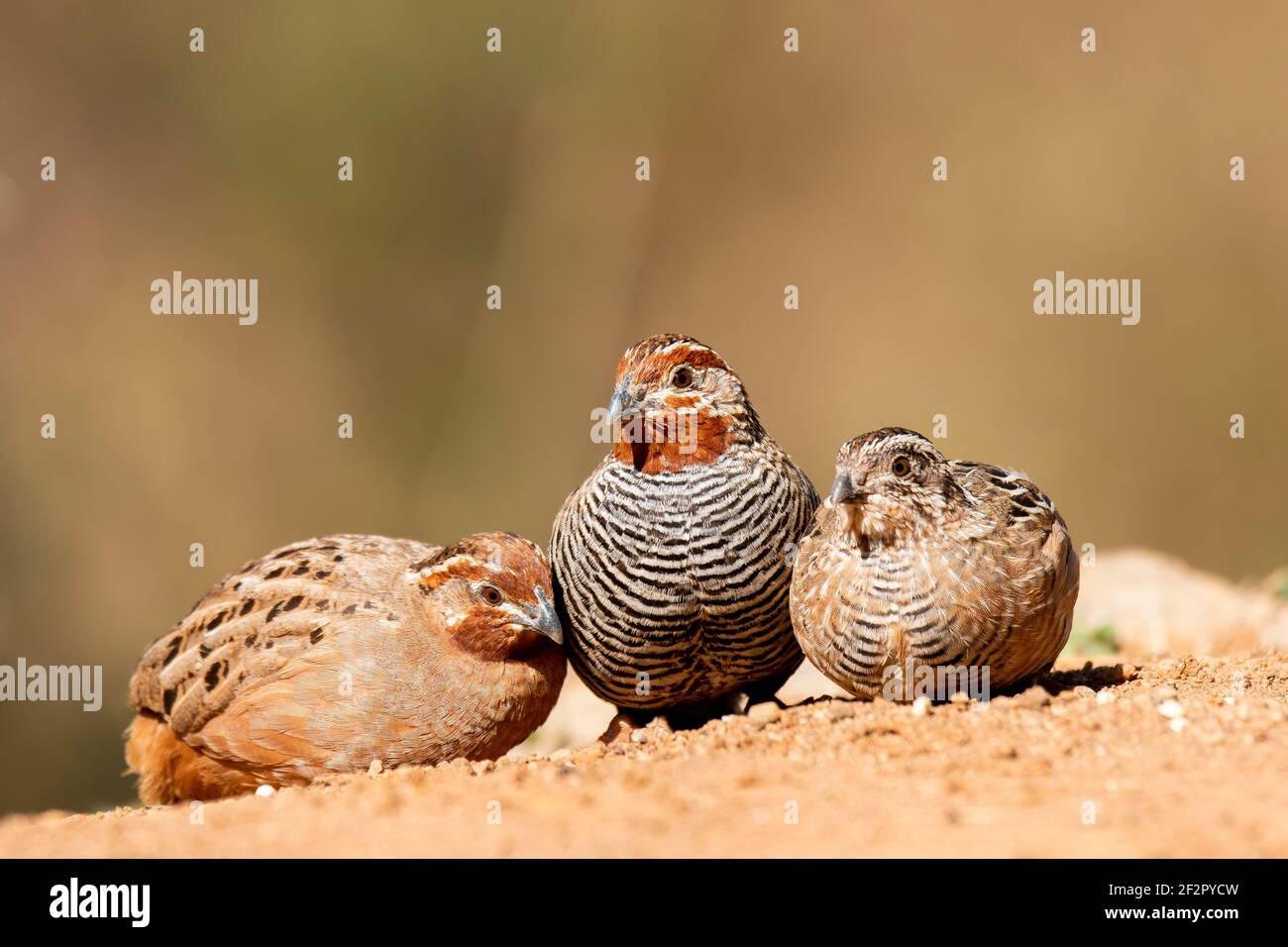 A family of jungle quails eating grains on the ground inside bushy jungles on the outskirts of Bangalore Stock Photo