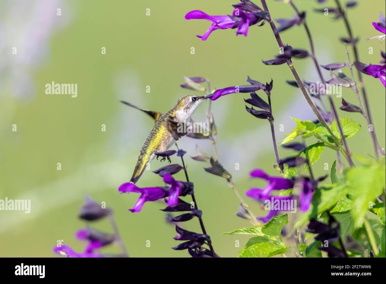 01162-16405 Ruby-throated Hummingbird (Archilochus colubris) at Salvia 'Purple and Bloom' (Salvia guaranitica) Marion Co.  IL Stock Photo