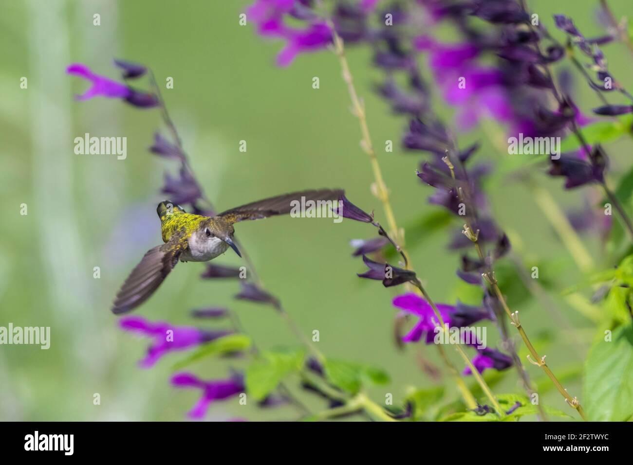 01162-16514 Ruby-throated Hummingbird (Archilochus colubris) at Salvia 'Purple and Bloom' (Salvia guaranitica) Marion Co.  IL Stock Photo