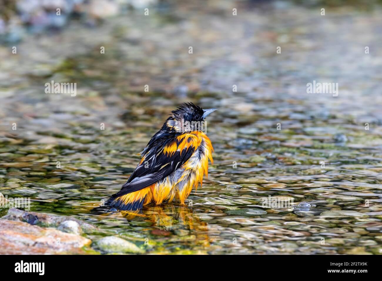 01611-10410 Baltimore Oriole (Icterus galbula) male bathing Marion Co. IL Stock Photo