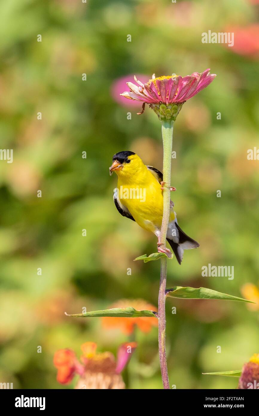 01640-16707 American Goldfinch (Spinus tristis) male eating Zinnia seeds Union Co. IL Stock Photo