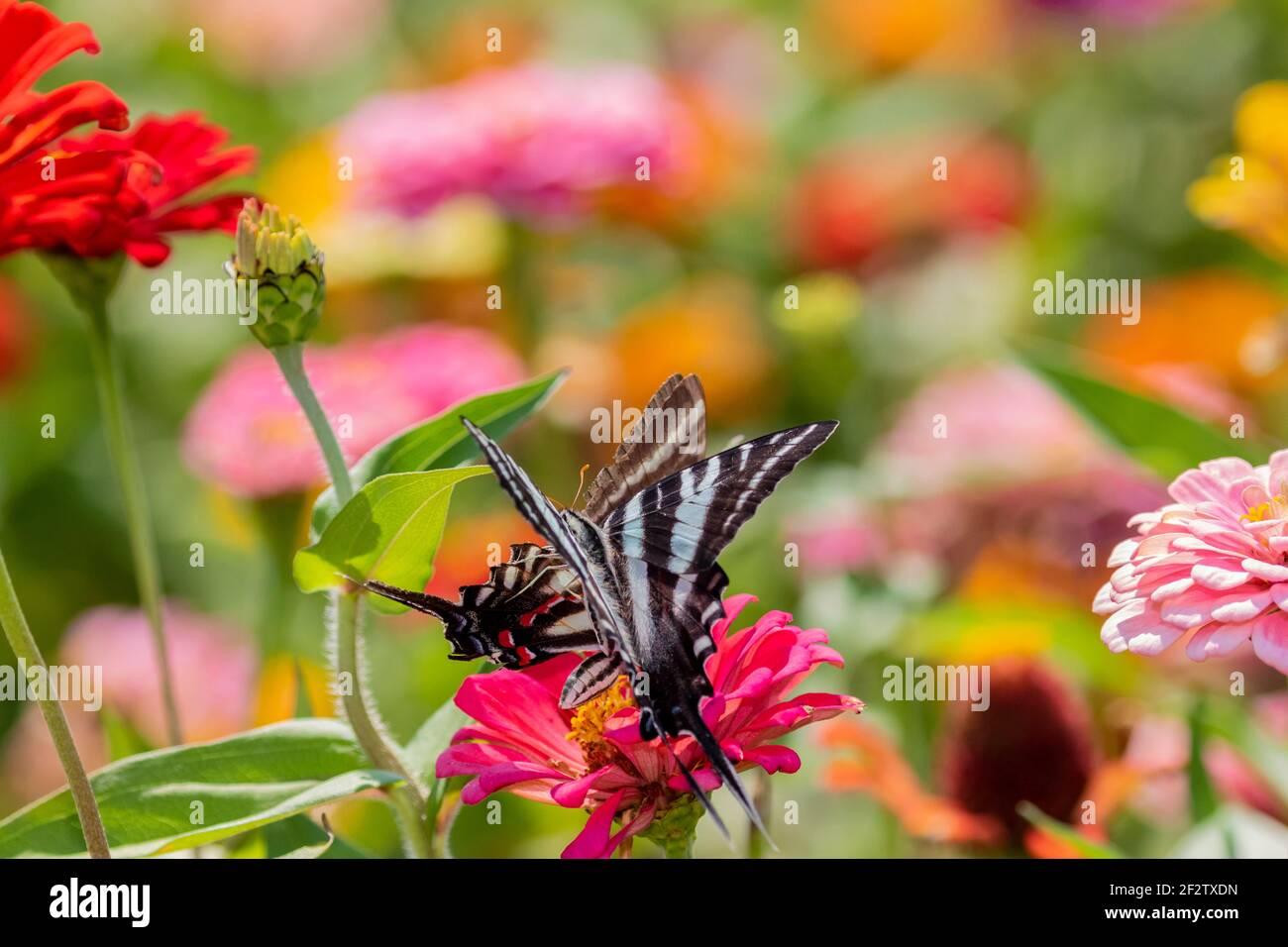 03006-00506 Zebra Swallowtails (Protographium marcellus) on Zinnia Union Co. IL Stock Photo