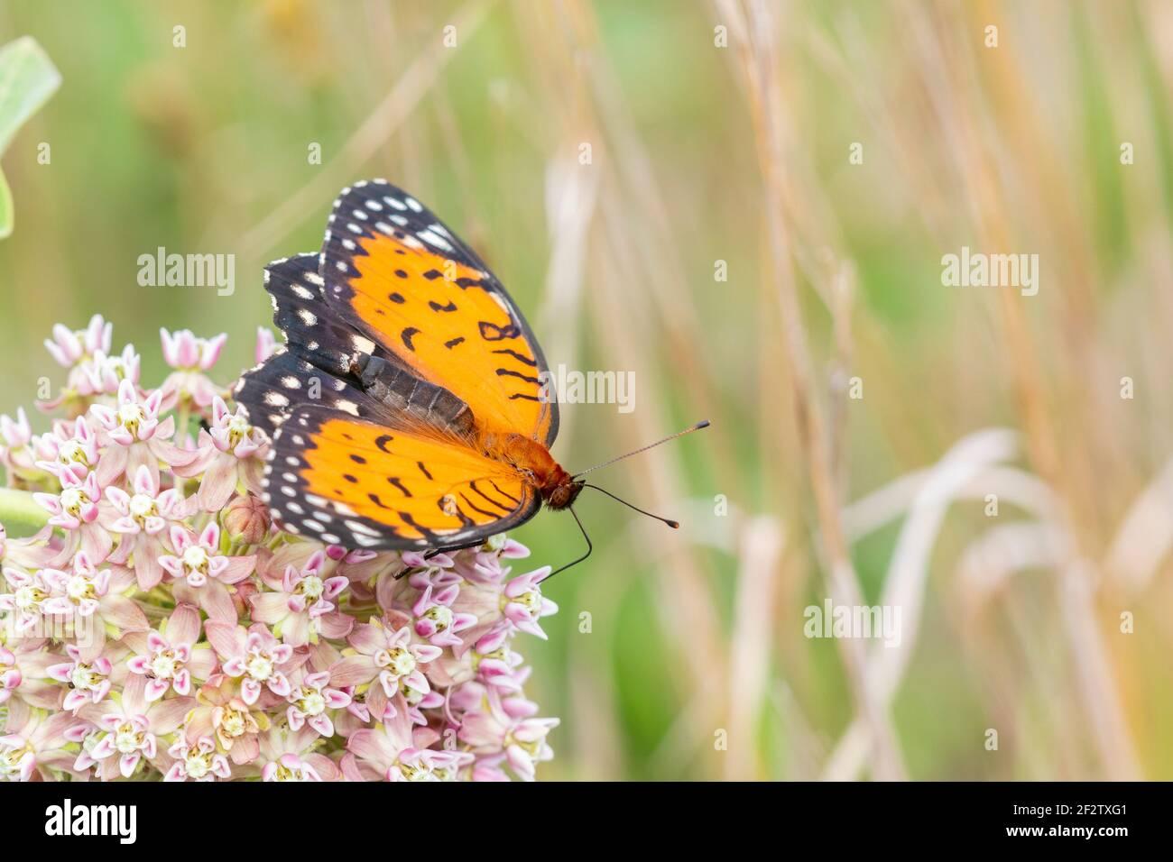 03325-00503 Regal Fritillary (Speyeria idalia) female on Common Milkweed (Asclepias syriaca)  Sand Prairie - Scrub Oak Nature Preserve Mason Co. IL Stock Photo