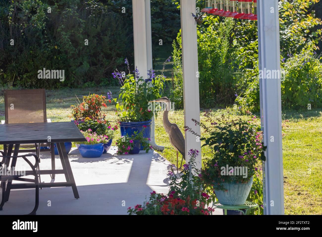 00684-05416 Great Blue Heron (Ardea herodias) on patio garden Marion Co. IL Stock Photo