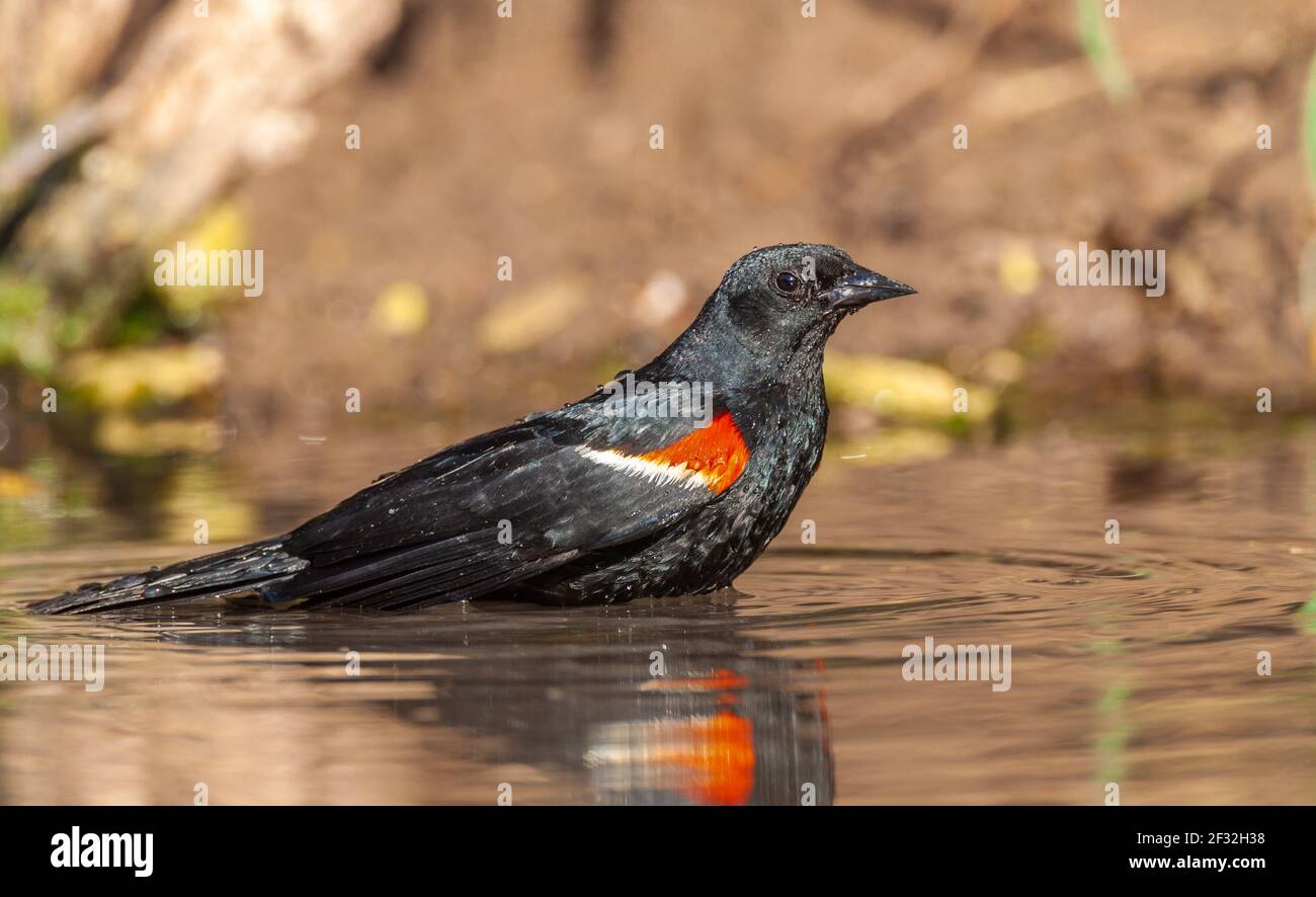 Red-winged Blackbird, Agelaius phoeniceus, taking a bath for relief from summer heat, on a ranch in South Texas. Stock Photo