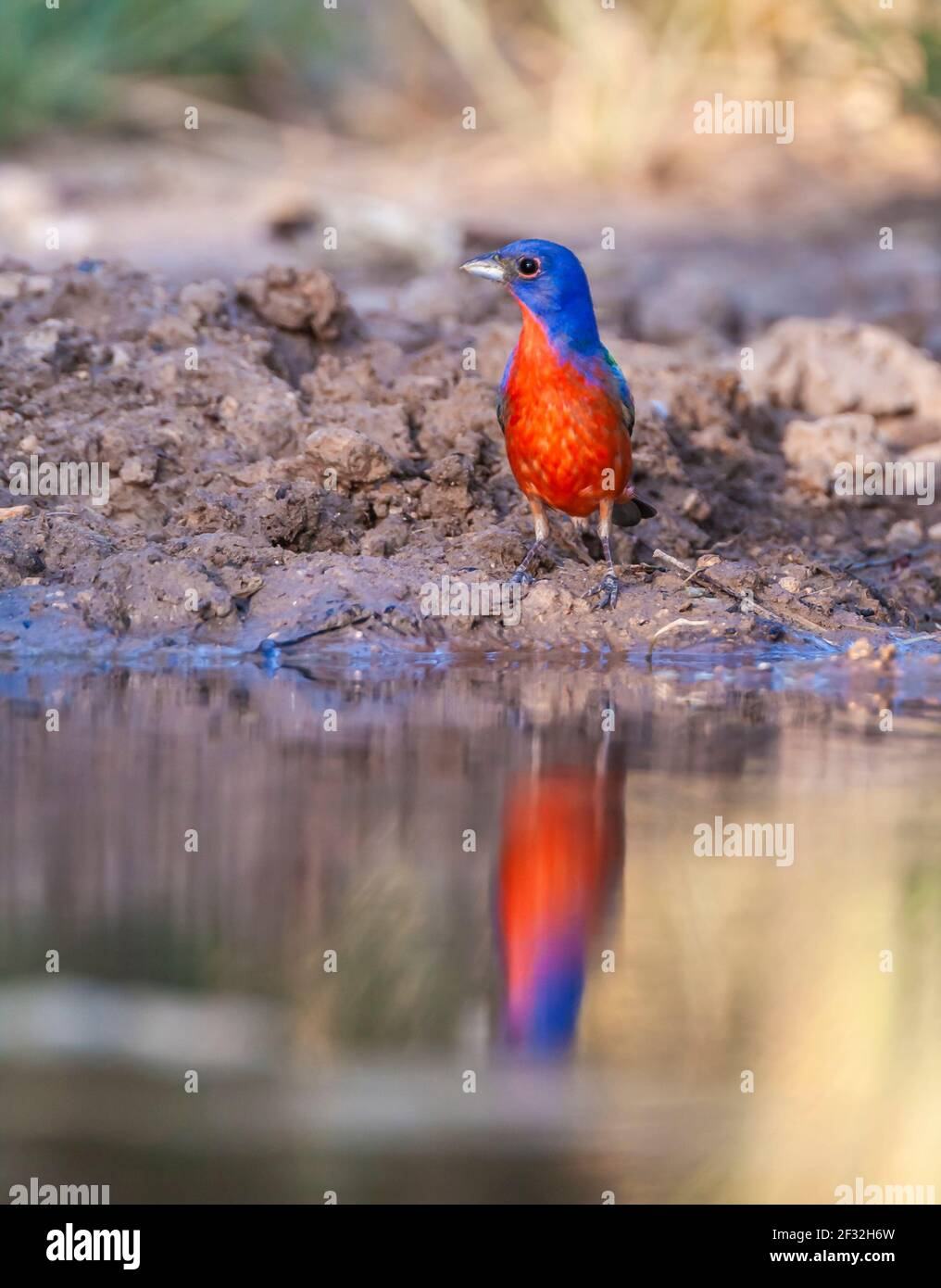 Painted Bunting, Passerina ciris, amazingly colorful bird, looking for water and relief from summer heat, on a ranch in South Texas. Stock Photo