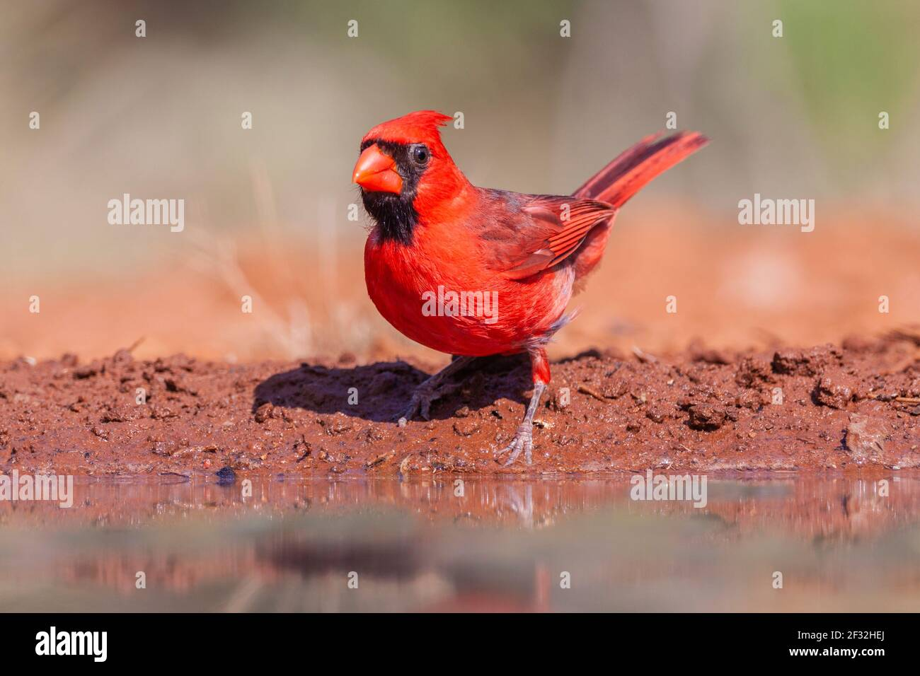 Northern Cardinal, Cardinalis cardinalis, looking for water and relief from summer heat, on a ranch in South Texas. Stock Photo