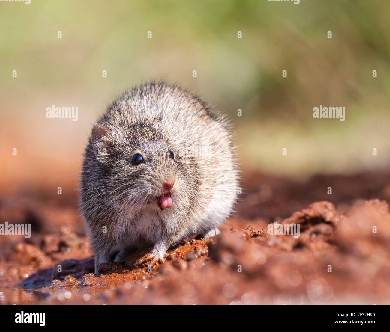 Mexican spiny pocket mouse coming for water to a pond on a ranch in South Texas. Stock Photo