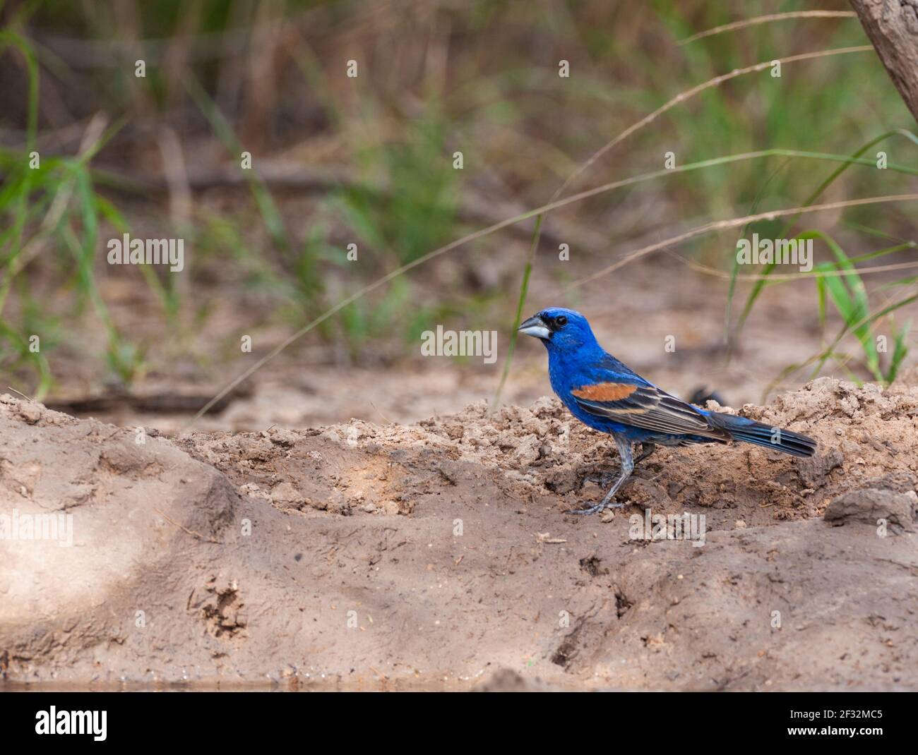Blue Grosbeak, Passerina caerulea, looking for water and relief from summer heat at a ranch in South Texas. Stock Photo