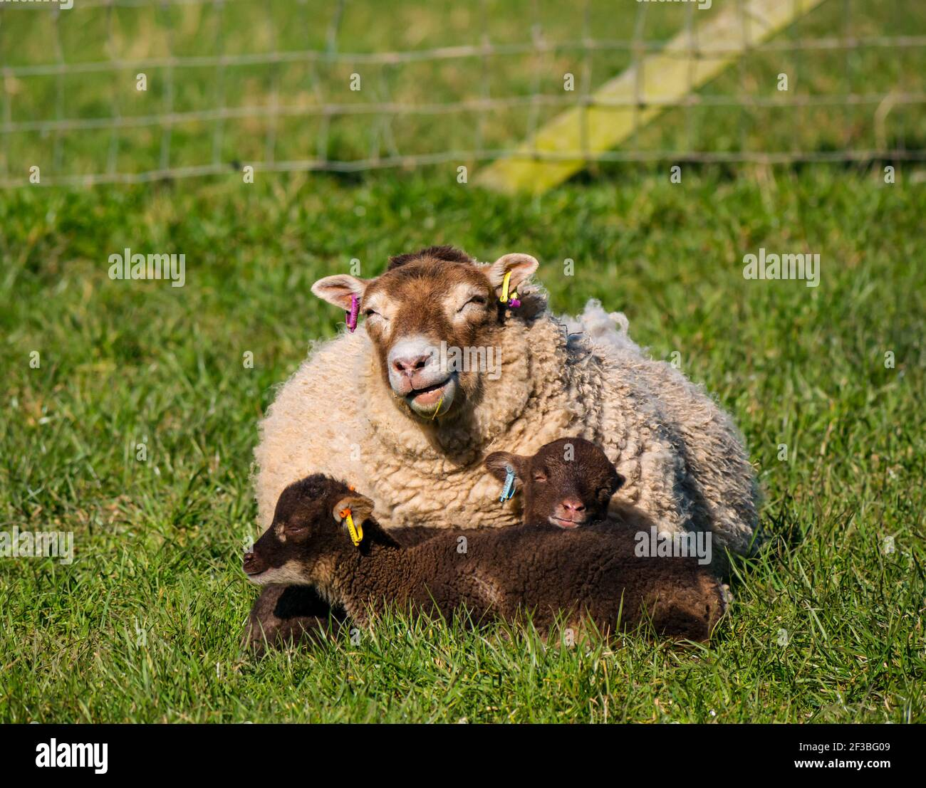 East Lothian, Scotland, United Kingdom, 16th March 2021. UK Weather: Spring lambs warm up lying in grass in the sunshine. These Shetland sheep lamb twins and their mother soak up the warmth of the sun as the ewe chews the cud in a grassy field but keeps one eye open to stay alert Stock Photo
