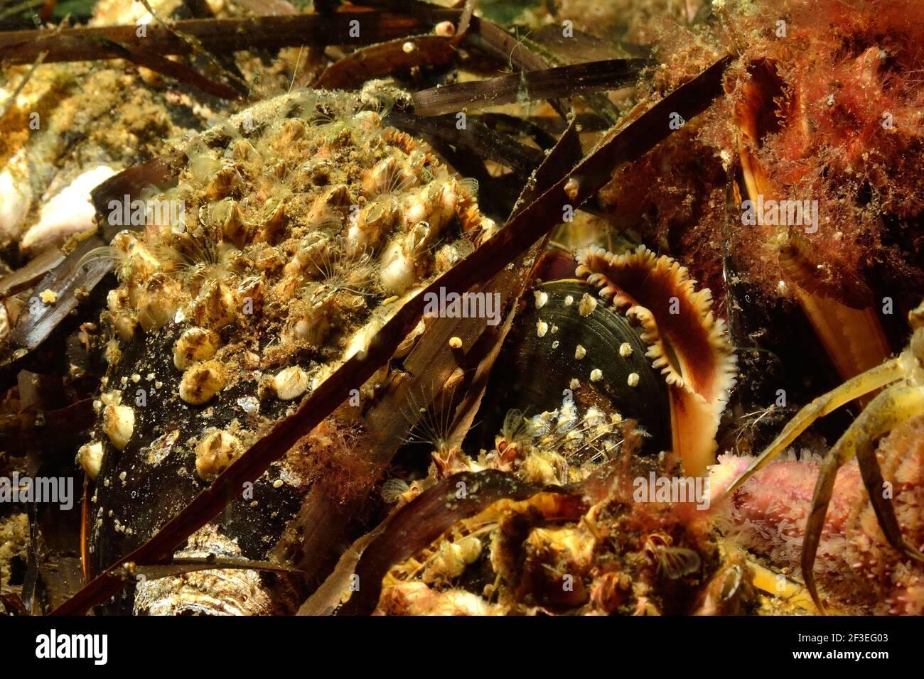 Eckernförde, Balanus crenatus auf Mytilus edulis, Gekerbte Seepocke auf Miesmuschel, acorn barnacle on common musselDeutschland, germany, Ostsee, balt Stock Photo