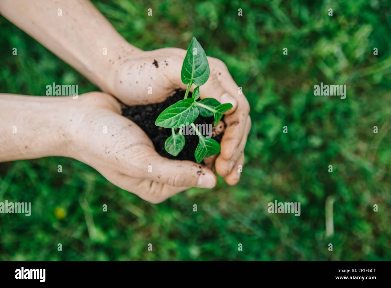 Close up man holding young plant in hands against spring green background. Fresh spring garden concept. Selective focus view from above Stock Photo