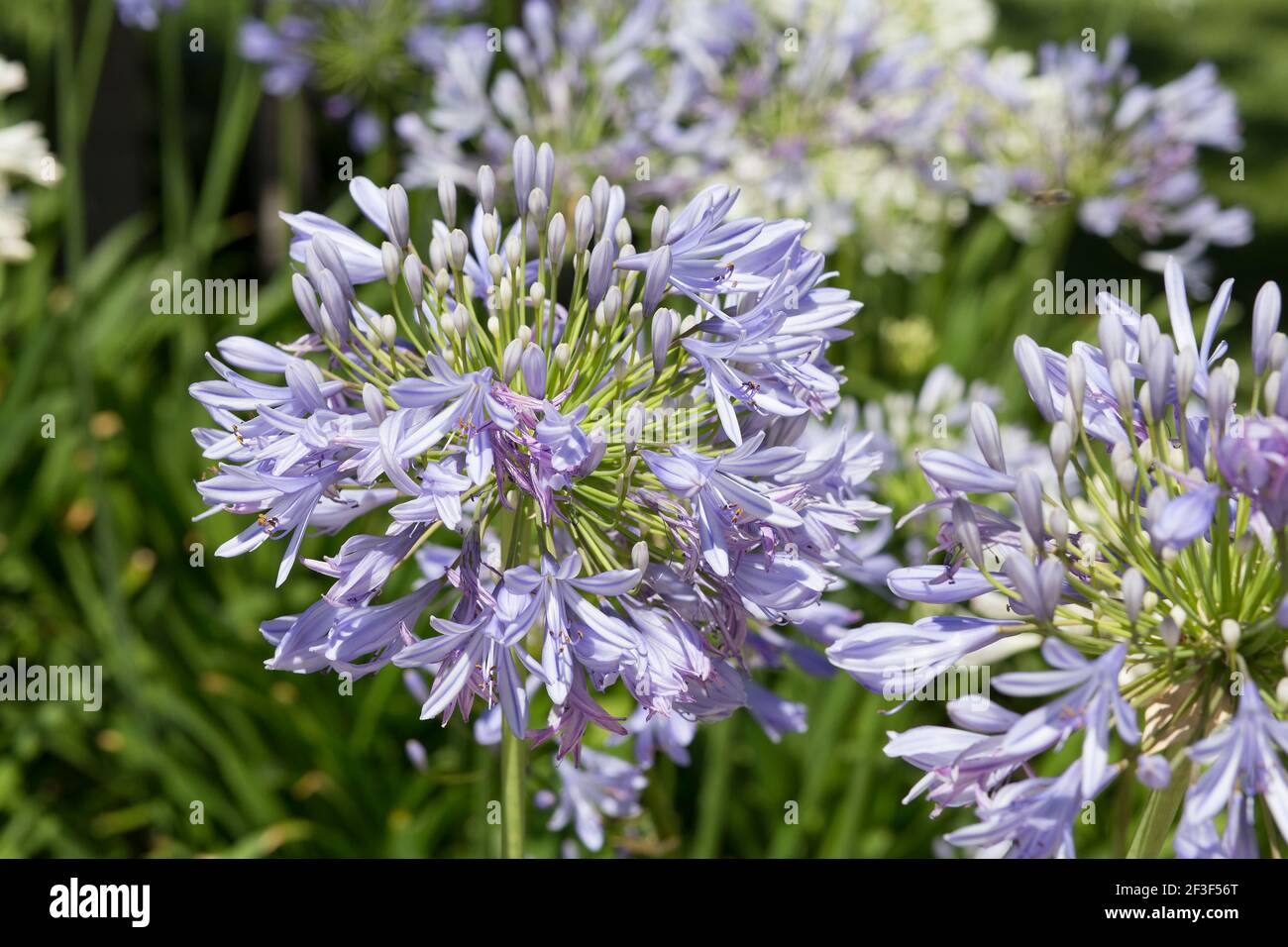 vibrant purple Agapanthus flower in spring time Stock Photo