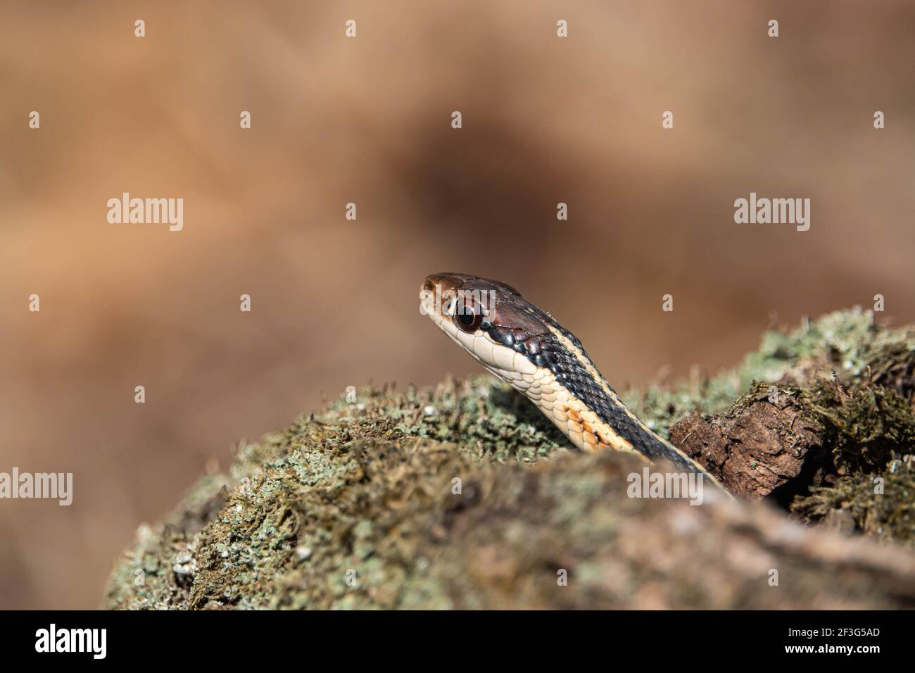 Eastern Ribbon Snake in Winter Stock Photo