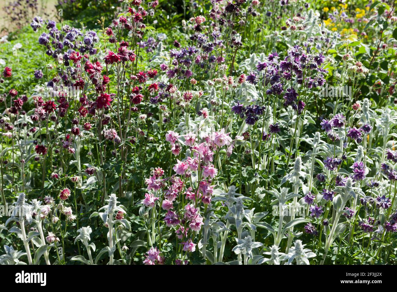 Herbaceous border planted with a mix of clematis-flowered, Columbine, Aquilegia, including clematis-flowered, long-spurred and pompom varieties, and S Stock Photo
