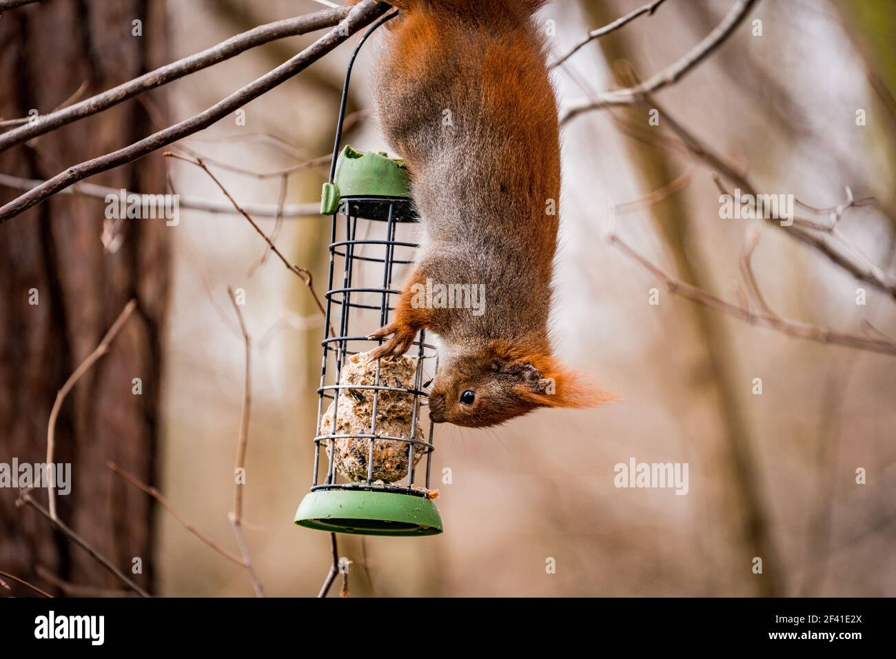squirrel hanging upside down on a feeder Stock Photo