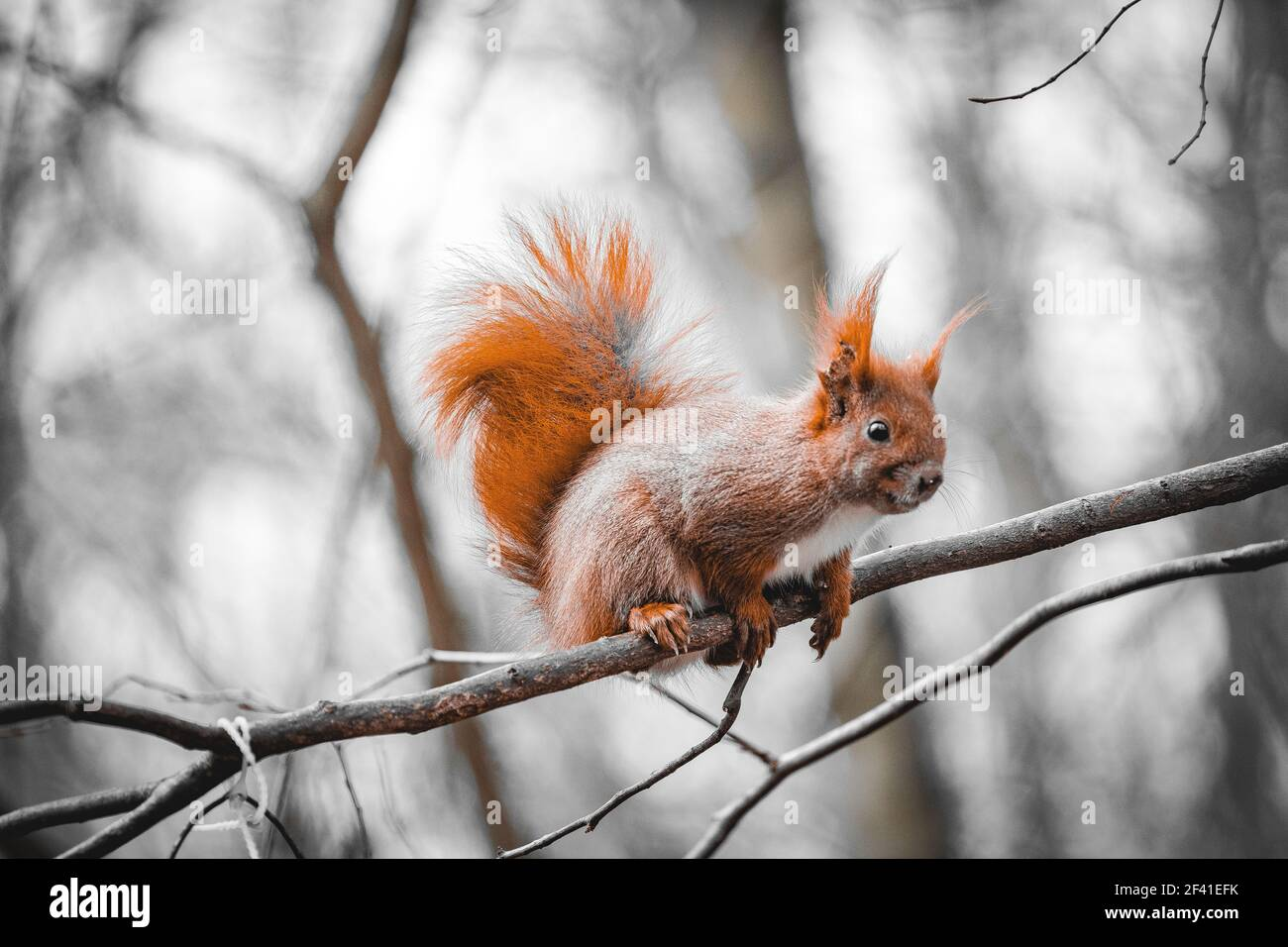 red squirrel on a tree in a grey ambient Stock Photo