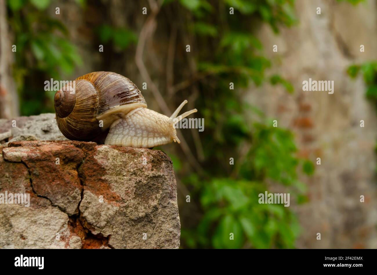 Snail on the bricks of a building. The snail over the cliff looks thoughtfully far away. The concept of inevitability, difficulty of choice, insurmoun Stock Photo