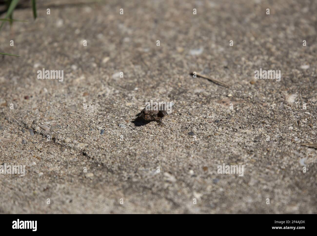 Tiny, young brown Strecker's Chorus Frog (Pseudacris streckeri) on a cement sidewalk Stock Photo