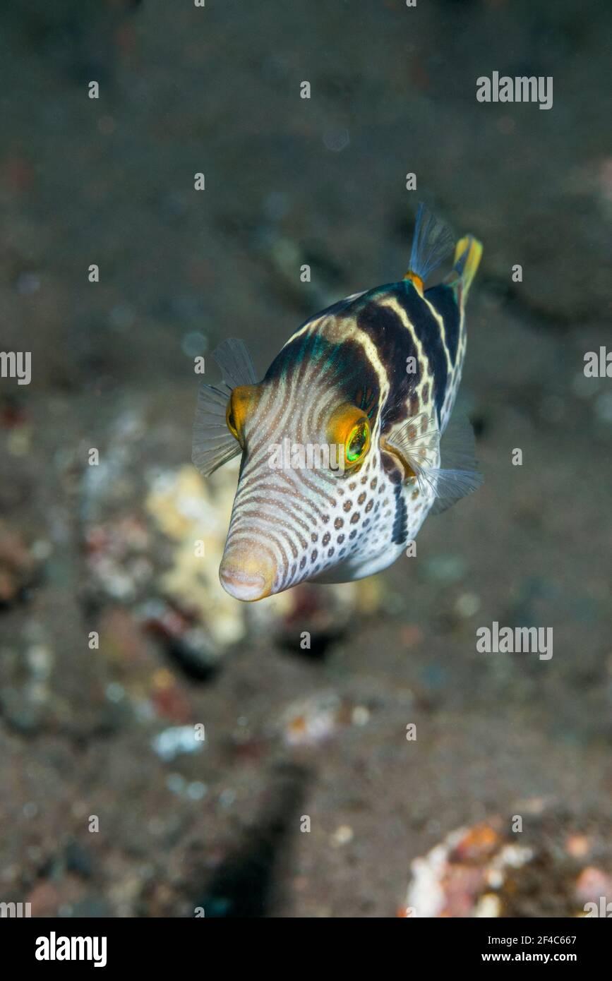 Black-saddled toby [Canthigaster valentini].  Tulamben, Bali, Indonesia. Stock Photo