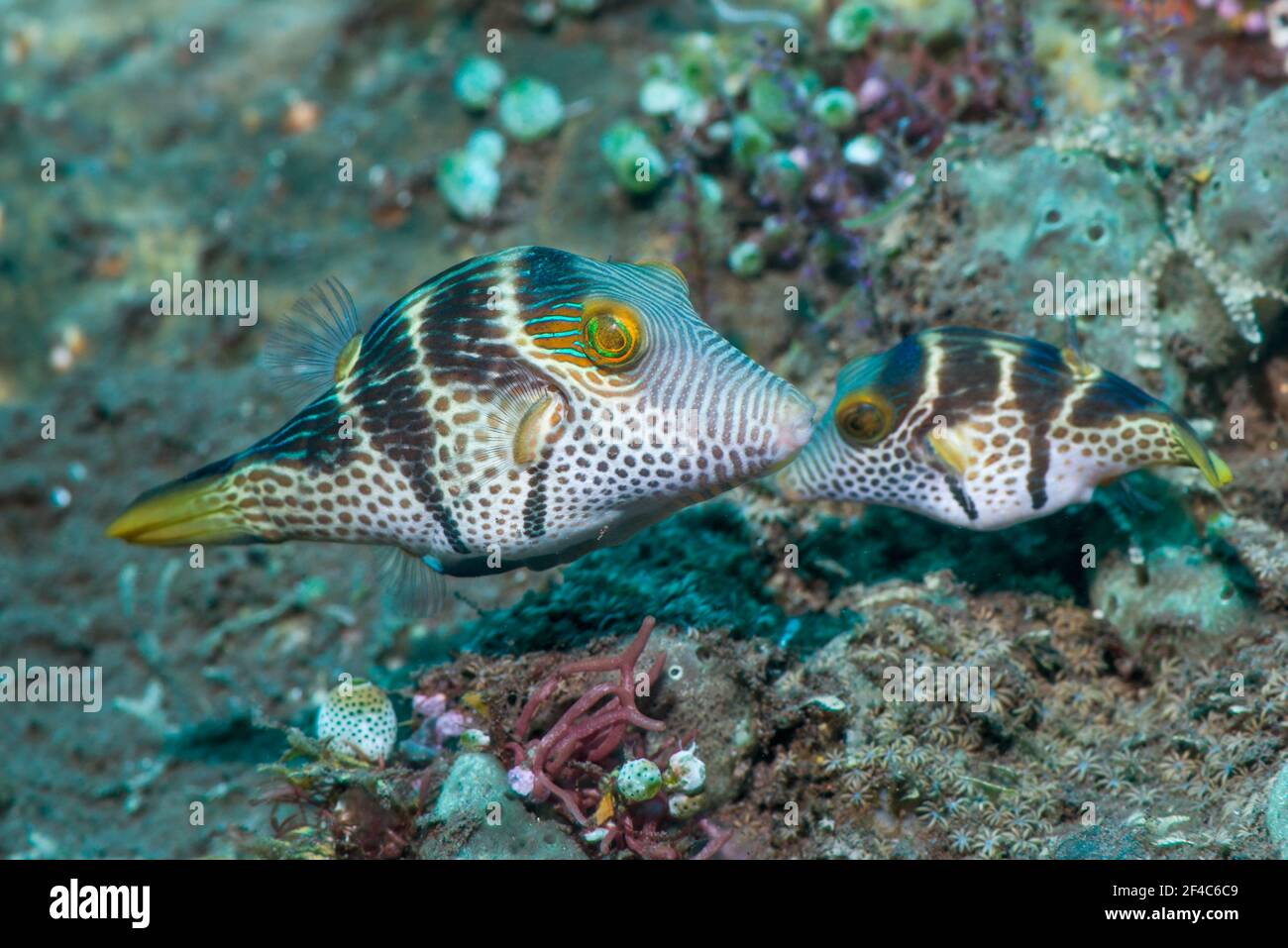 Valentini's sharp nosed puffer or Black-saddled toby [Canthigaster valentini] courting pair.  Tulamben, Bali, Indonesia. Stock Photo