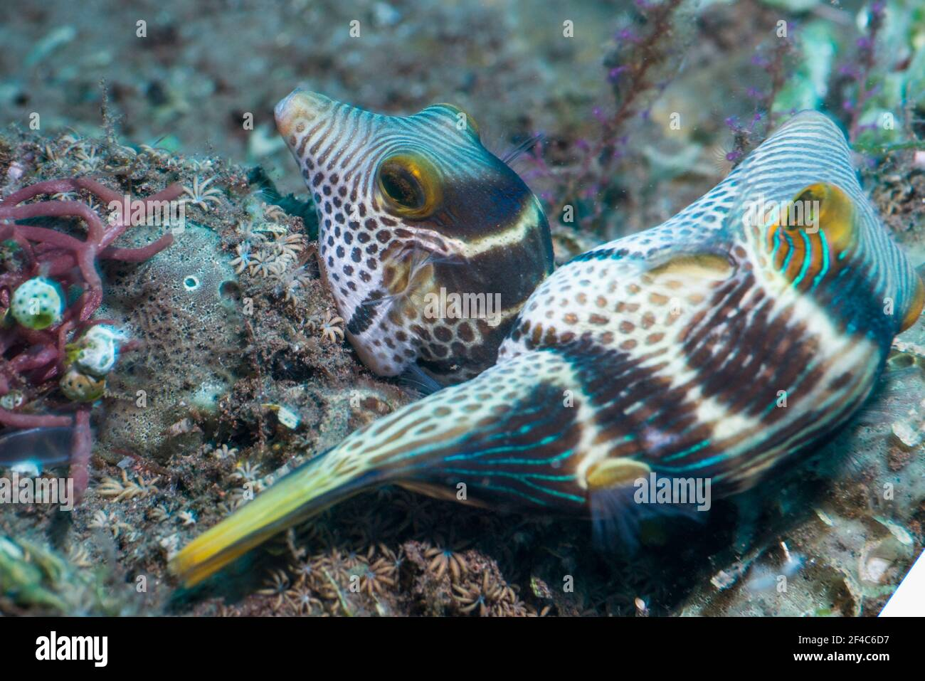 Pair of Valentini's sharp nose puffer or  Black-saddled toby [Canthigaster valentini] mating.  Tulamben, Bali, Indonesia. Stock Photo