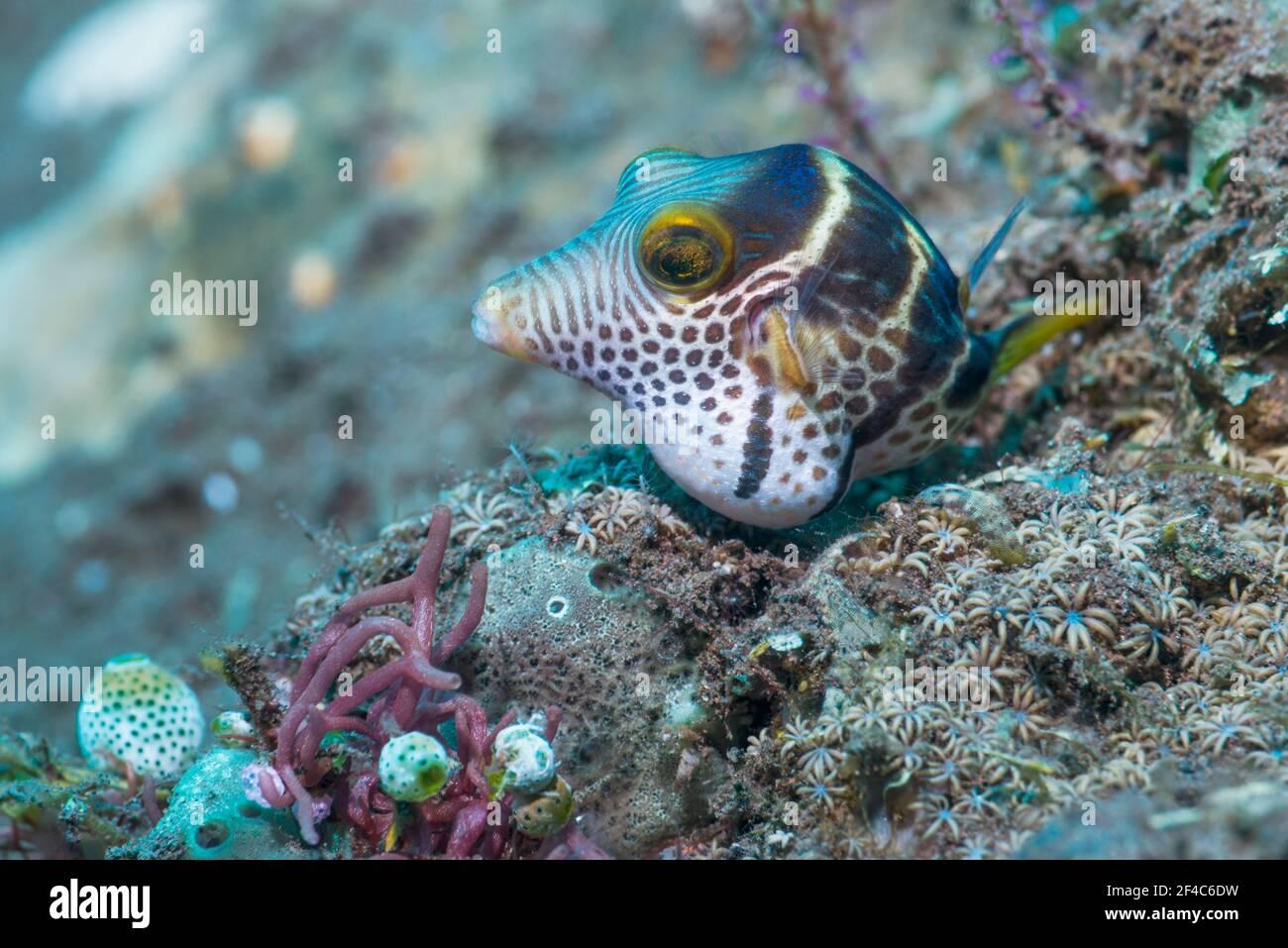 Valentini's sharp nosed puffer or Black-saddled toby [Canthigaster valentini].  Tulamben, Bali, Indonesia. Stock Photo