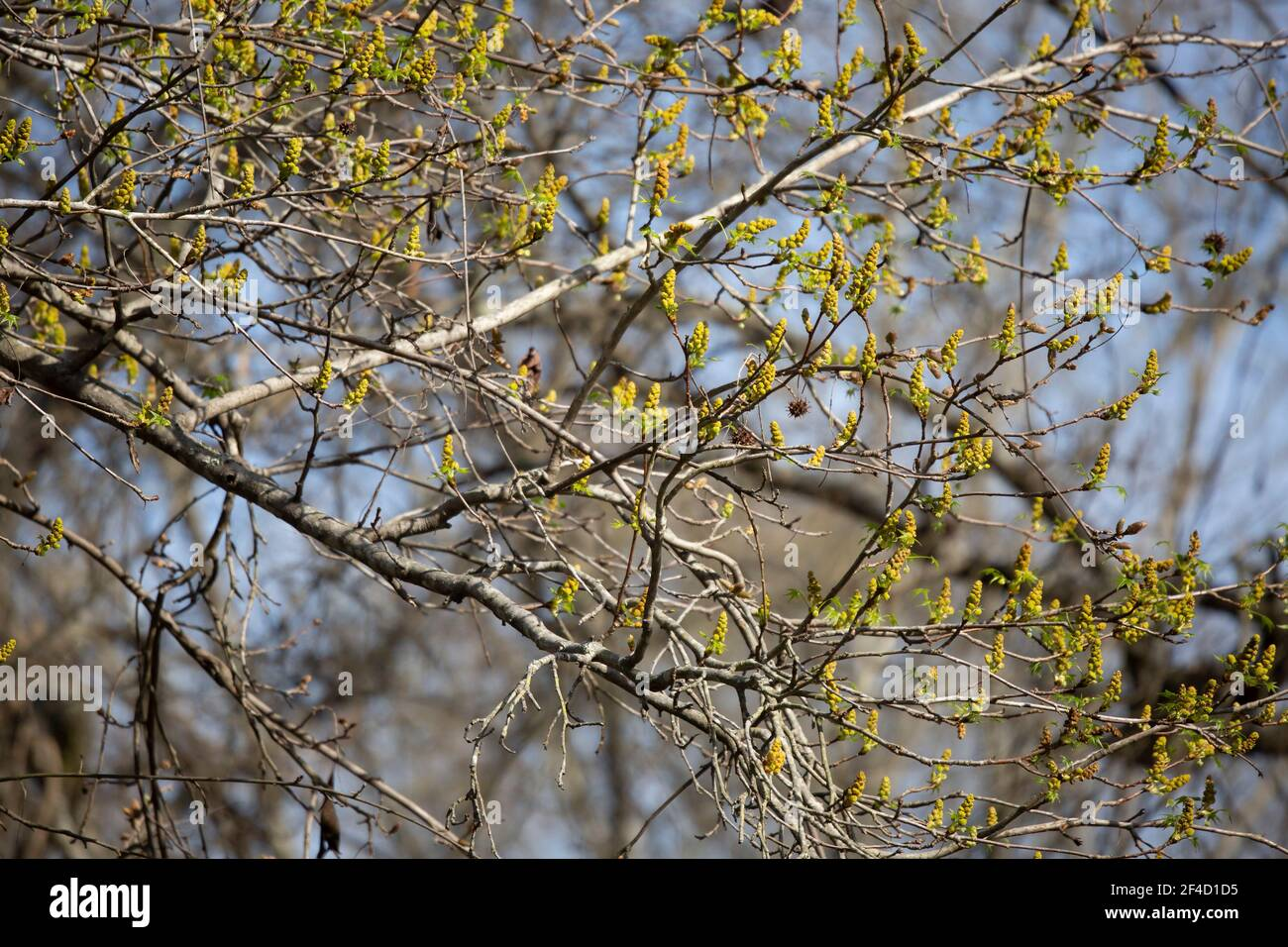 Pollen growing out from tree limbs on a spring day Stock Photo