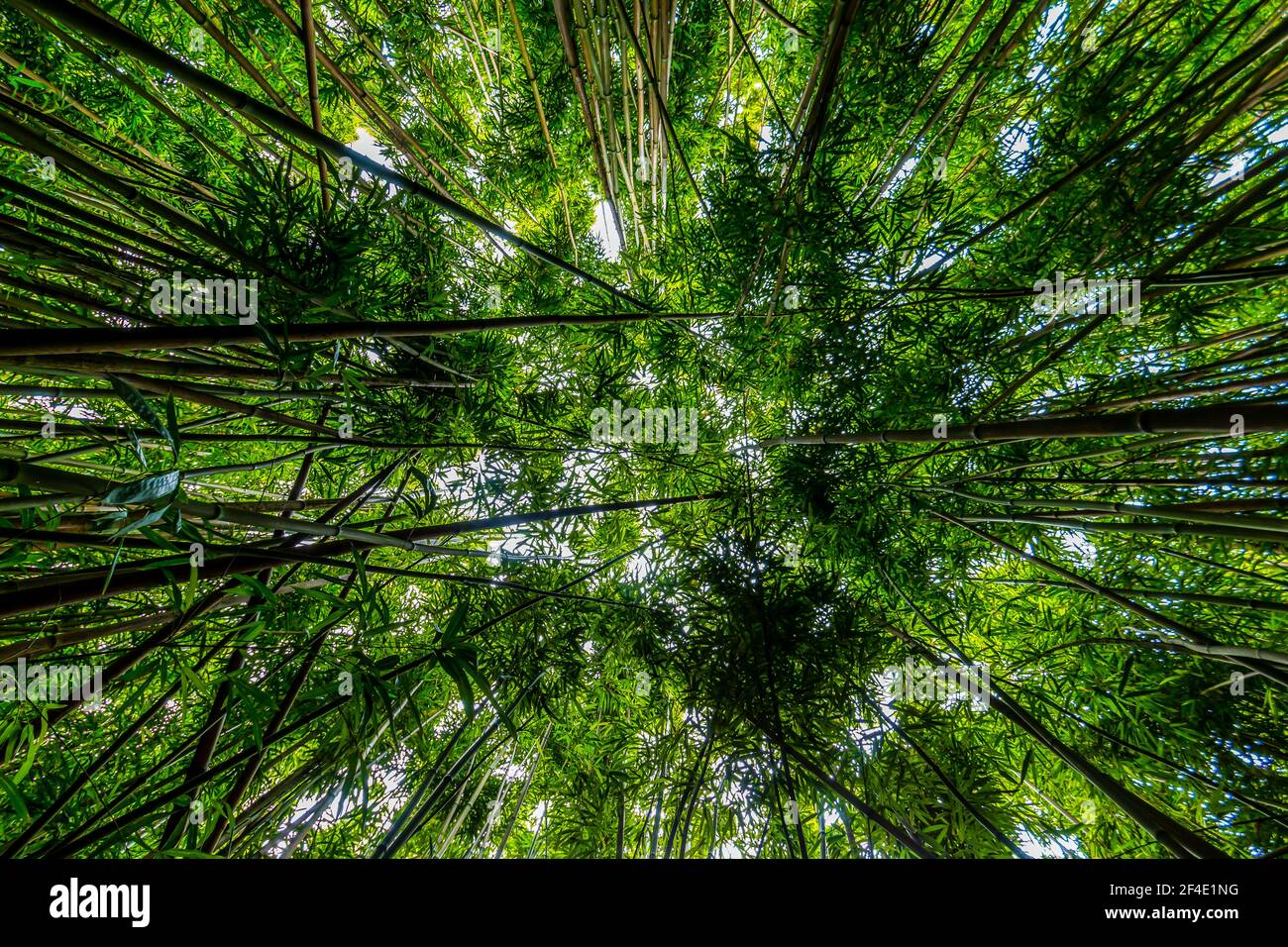 Vertical View of Giant Bamboo Forest on The Pipiwai Trail, Kipahulu District, Haleakal National Park, Maui, Hawaii, USA Stock Photo