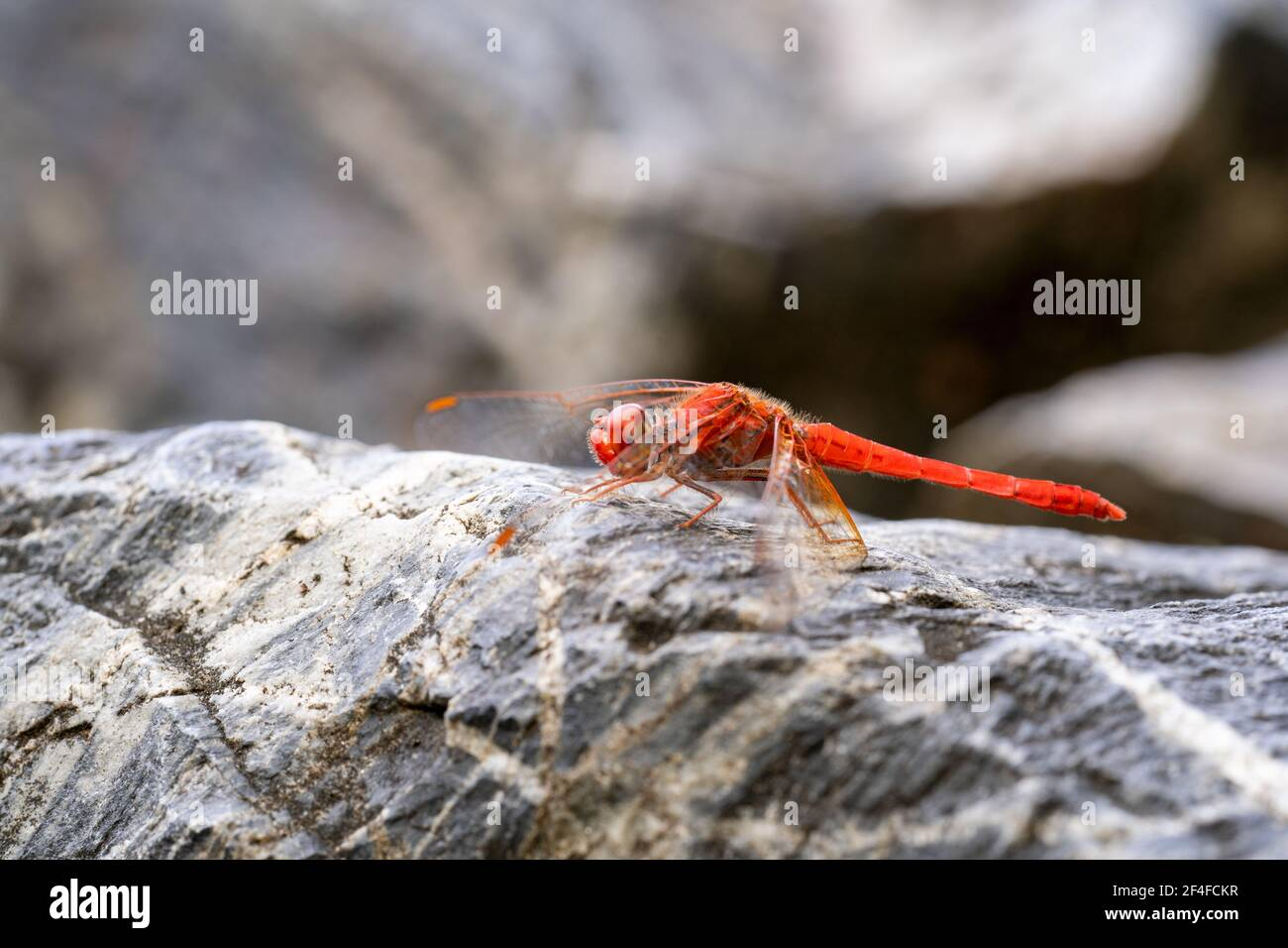 Side view shot of a red dragon fly sitting on a rock Stock Photo