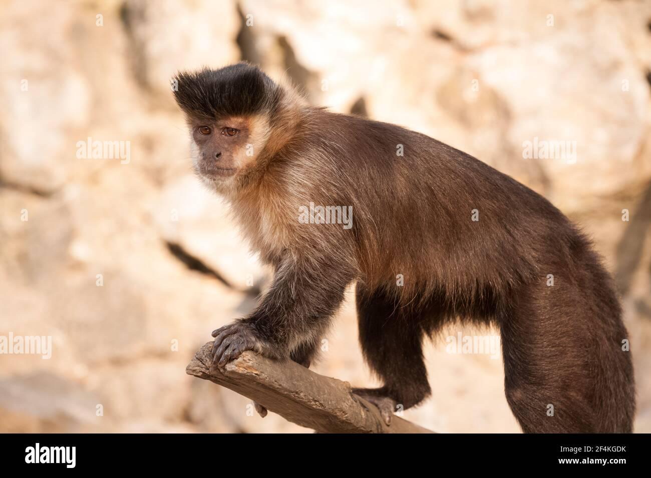 Capuchin sweet little monkey on the branch Stock Photo