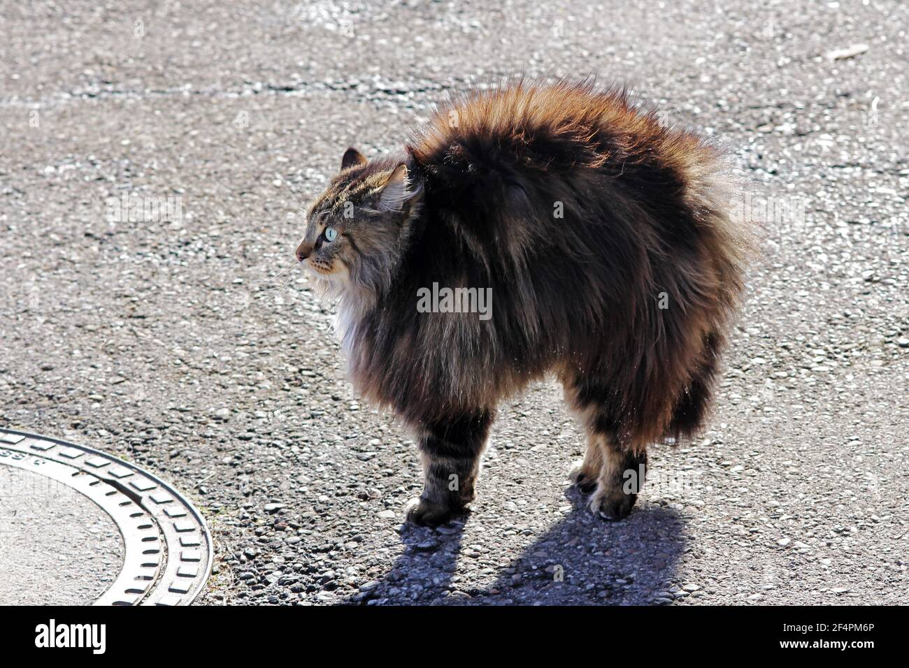 A cat threatens and makes a cat hump. A cat is afraid and hisses Stock Photo