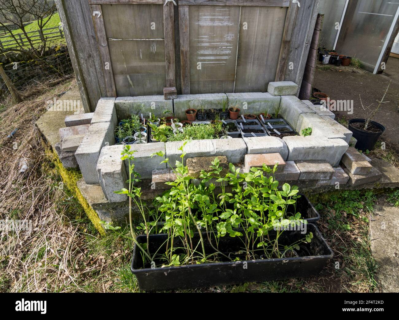 Cold frame made from breeze blocks and plastic panels; rows of young ammi majus plants are ready to be transferred. UK Stock Photo