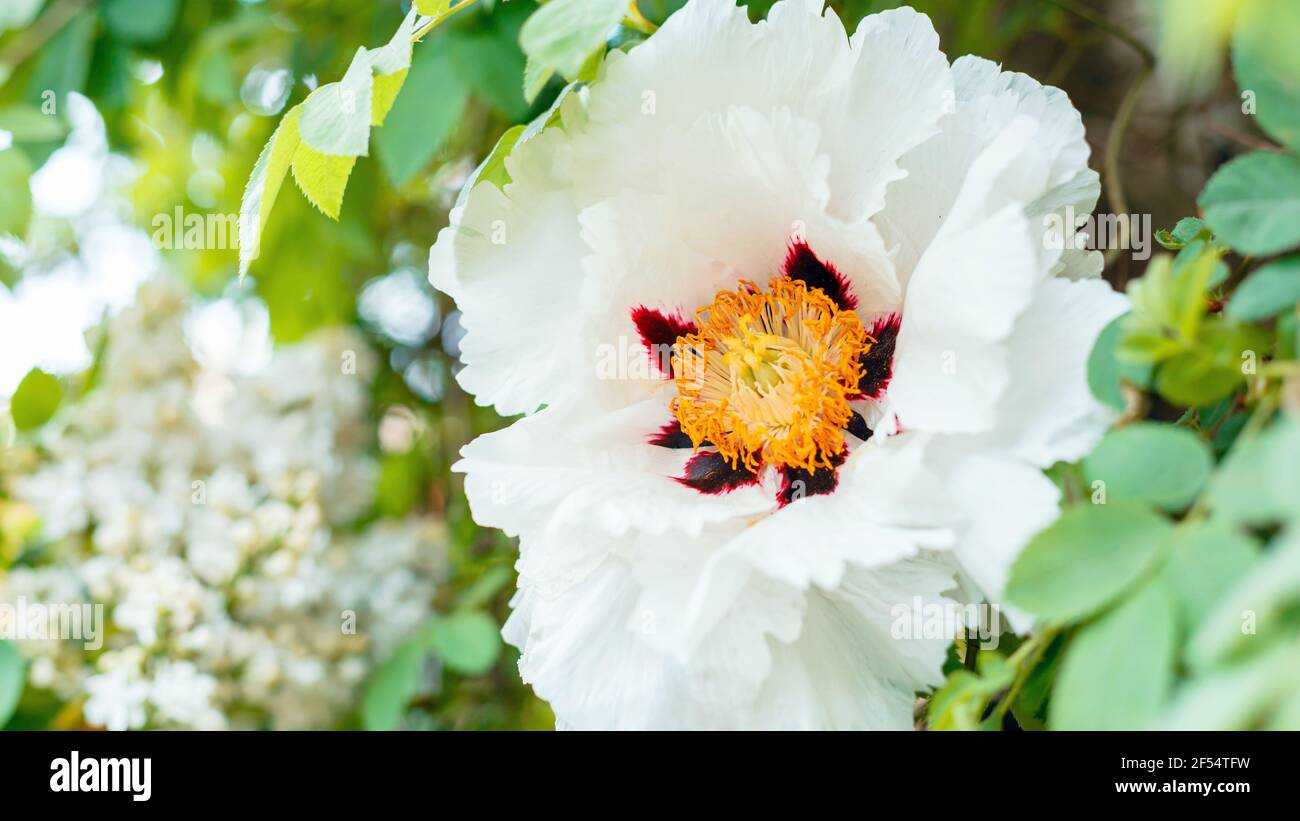 White peony blooming. Beautiful big spring flower blooms on bush. Tree peony Paeonia suffruticosa in garden. floriculture gardening. Long web banner Stock Photo