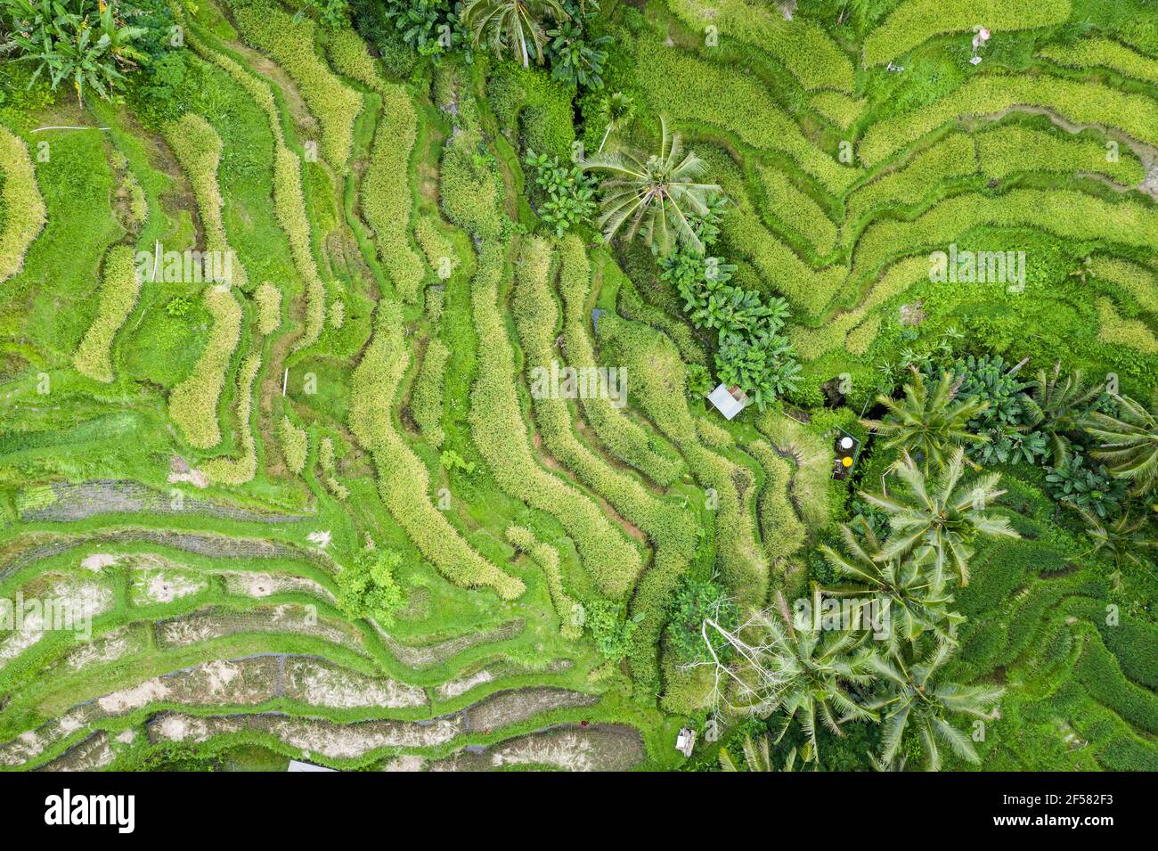 Top down view of the famous Tegallalang Rice Terraces near Ubud in Bali, Indonesia. Stock Photo