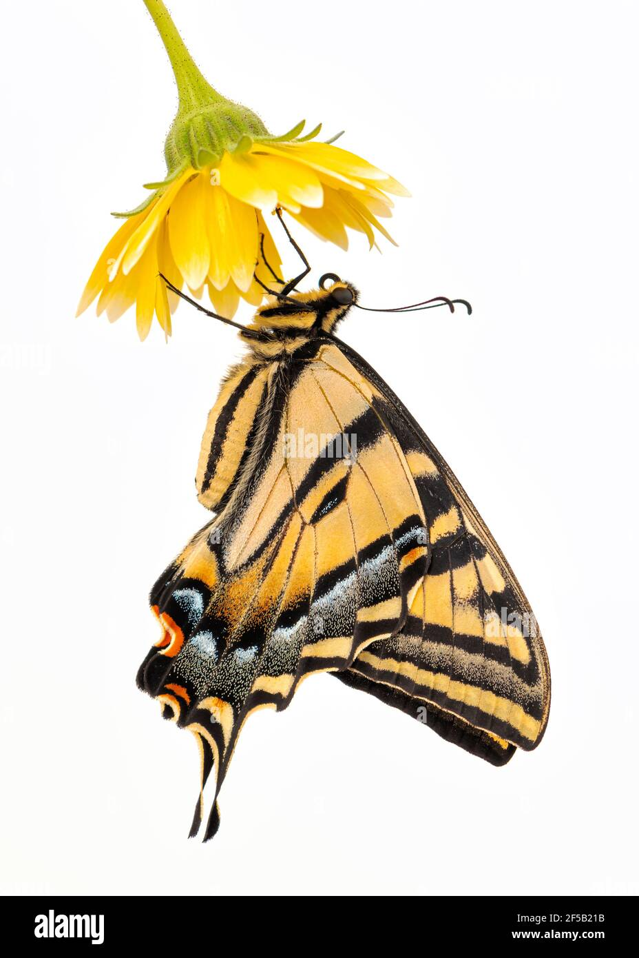 A Western Tiger Swallowtail (Papilio rutulus) hanging from a yellow flower - side view - on a plain white background Stock Photo