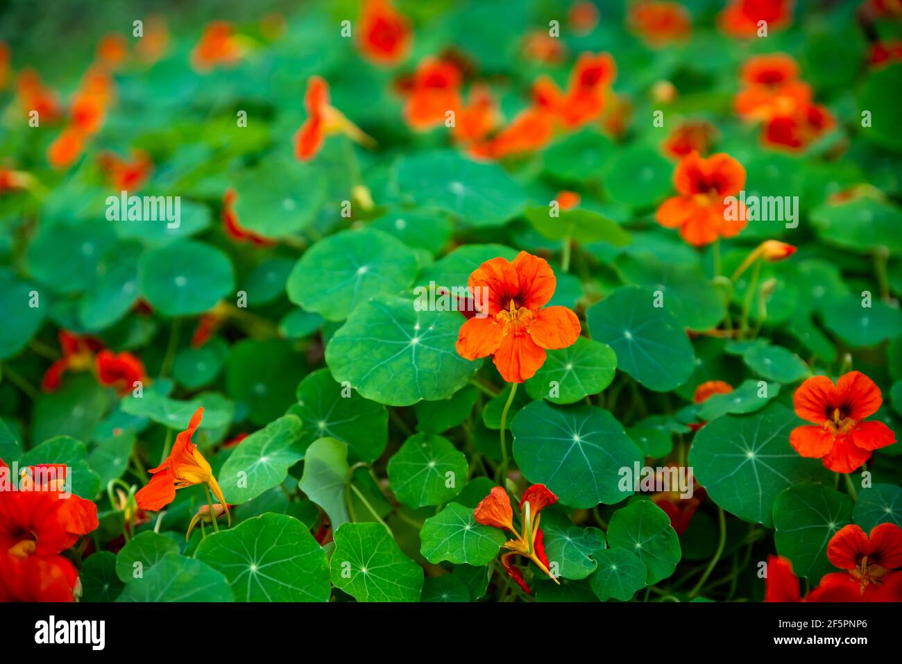 A large number of orange blooming edible flowers of Tropaeolum (Nasturtium called, too) and their green leaves in flower bed in garden. Stock Photo