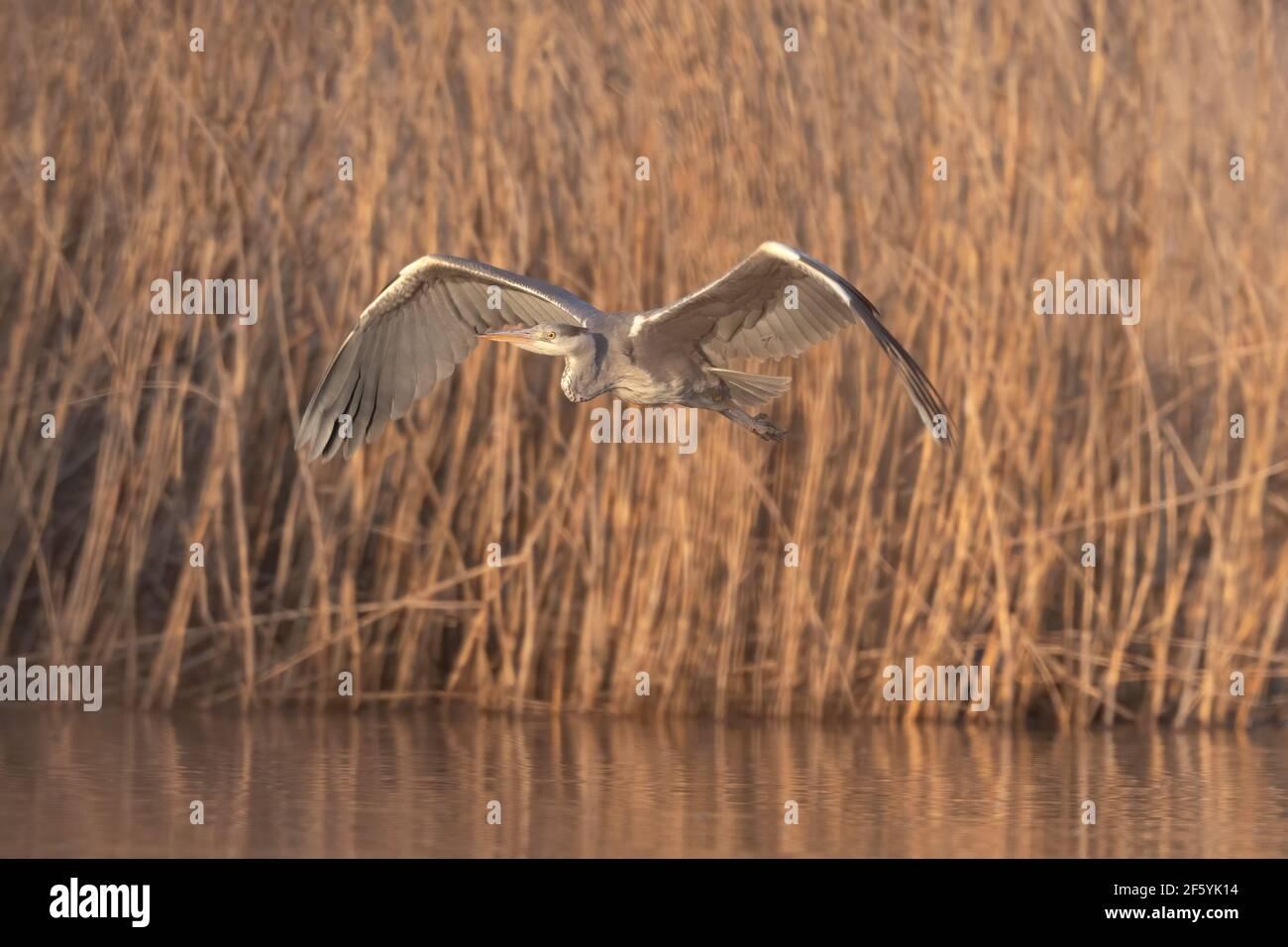 Beautiful Grey heron (Ardea cinerea) flying over golden lake in spring. Ardea cinerea fly across lake Stock Photo