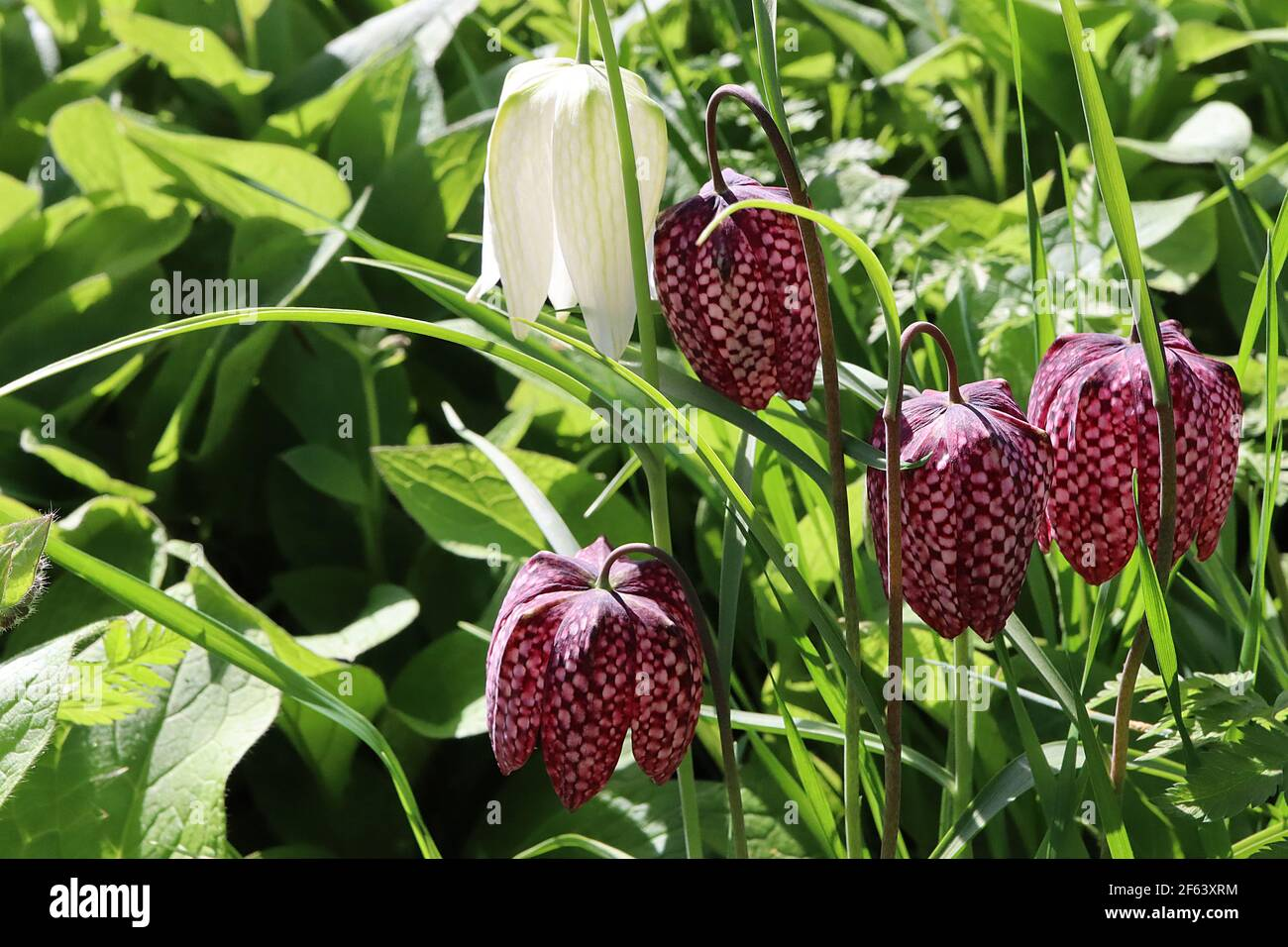Fritillaria Meleagris Mixed High Resolution Stock Photography and ...