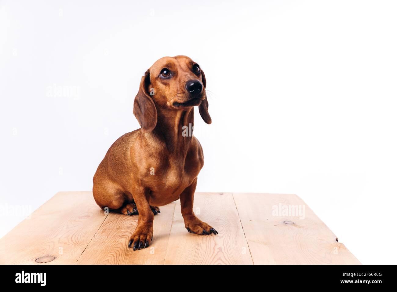 Purebred dog dachshund with shiny hair. A companion dog and a friend. Stock Photo