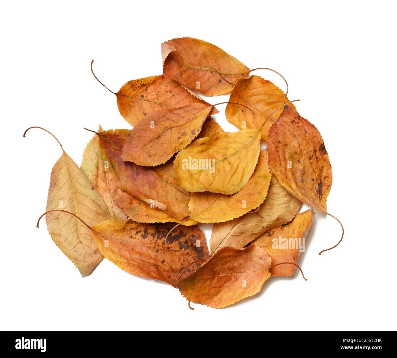 pile of dry golden cherry leaves isolated on white background, top view. Stock Photo