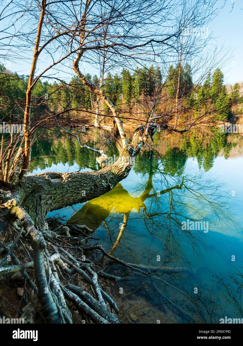 Fallen tree on water surface on Lokve lake in Croatia Europe Stock Photo