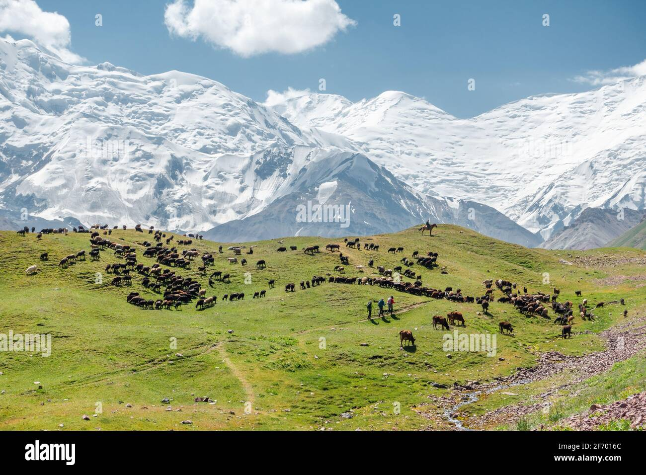 Horses and cows grazing in a pasture near Lenin Peak's base camp, Pamir snowcapped mountain ridge on the border of Kyrgyzstan and Tajikistan Stock Photo