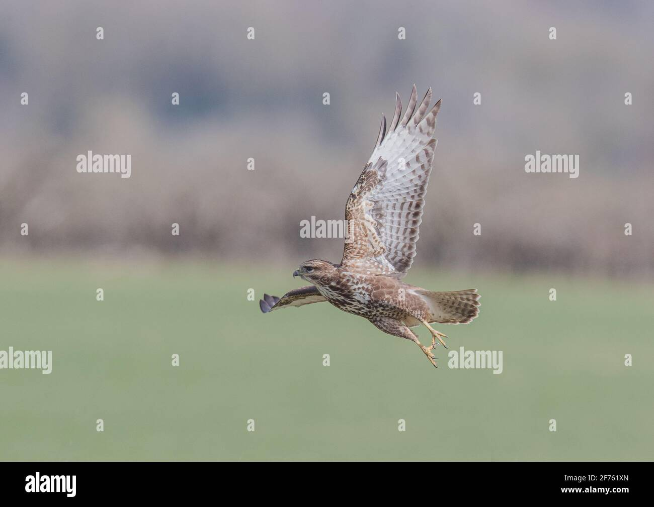 Close up of the underside feather detail on a Buzzard ( Buteo buteo ) taking off over farmland with a clear background. Suffolk ,UK Stock Photo