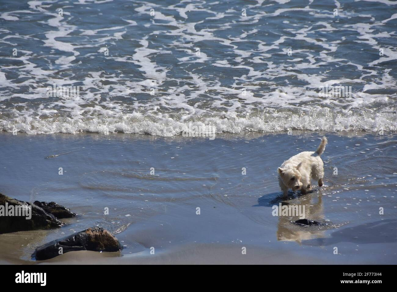 Little dog on the beach, Maine Stock Photo