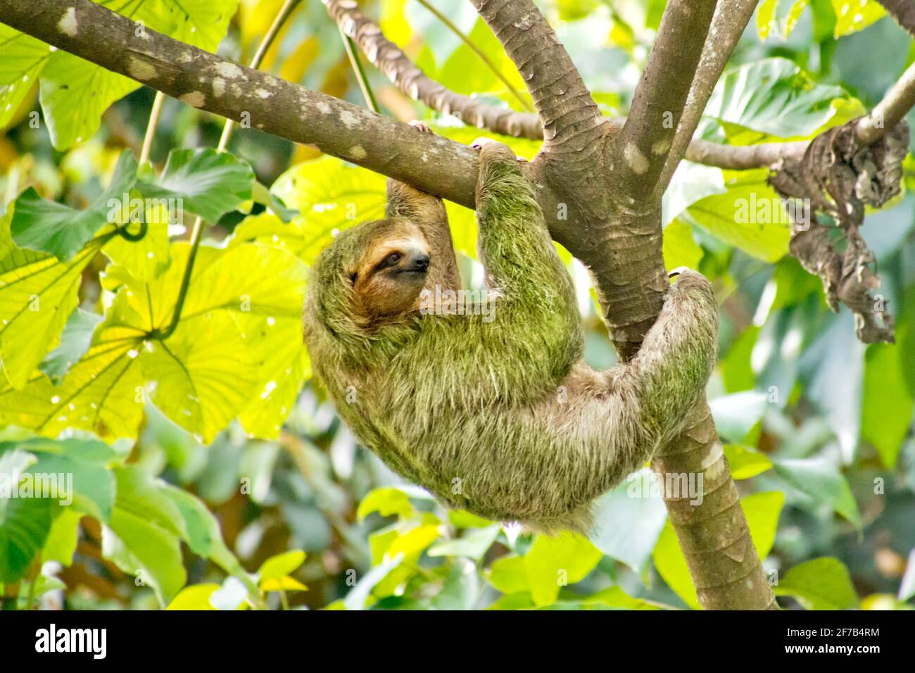 Pale-throated Sloth, Bradypus tridactylus, Three-toed Sloth, Tropical Rainforest, Marino Ballena National Park, Uvita de Osa, Puntarenas, Costa Rica, Stock Photo
